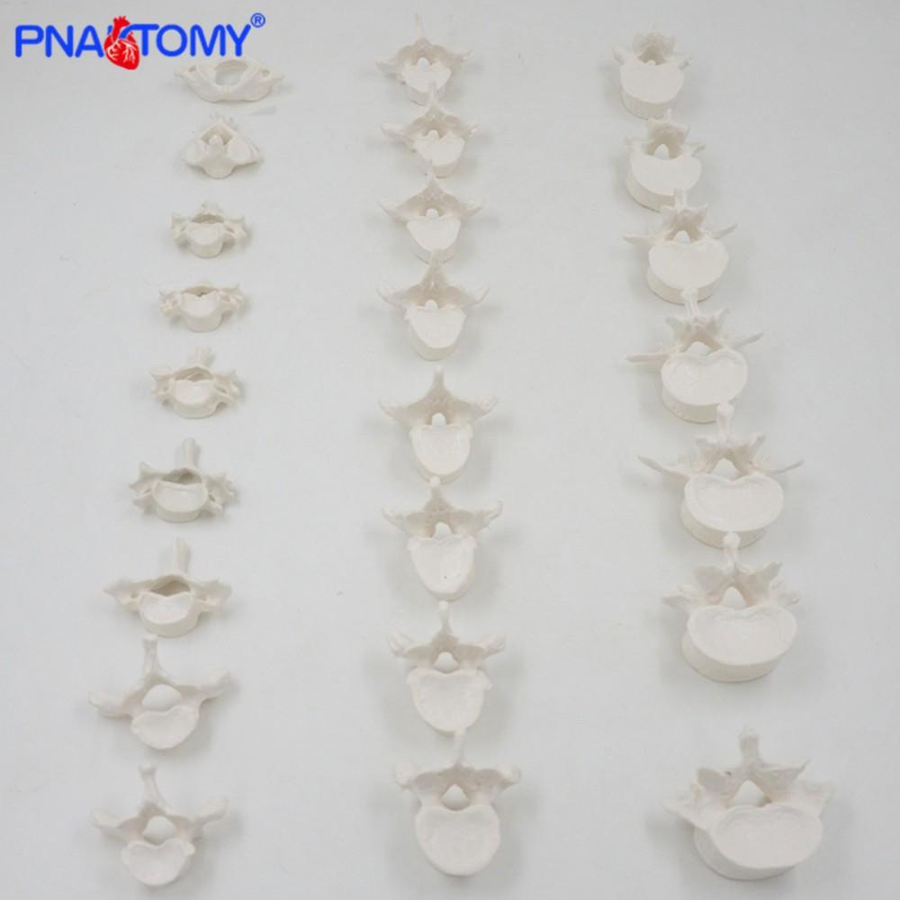 인체 척추모형 추체산골 경추 흉추 요추 척추뼈 시뮬레이션 해부학 인체모형 뼈, 24번 디스크 백색개 (POP 5711027556)