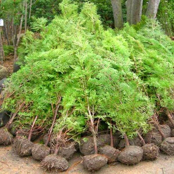 [상록수] 측백나무(조선측백) 키150cm 묘목