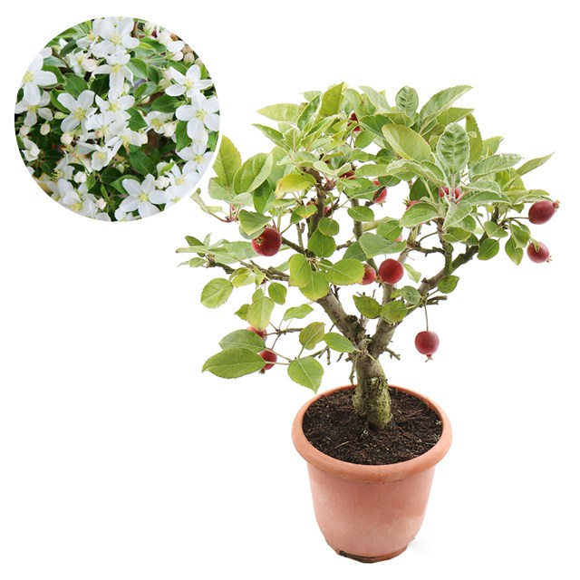 갑조네 애기사과 미니사과나무 꽃사과 사과나무묘목