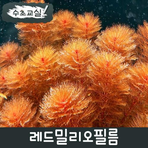 [수초교실] 초보용수초 레드밀리오필름 키우기쉬운수초, 10개