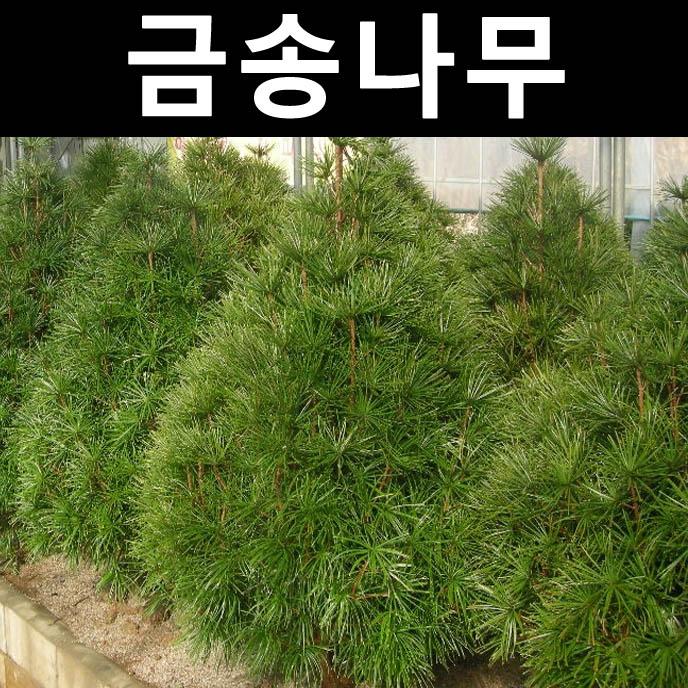 금송 키70~80cm(분)/나무 묘목/상록수/조경용