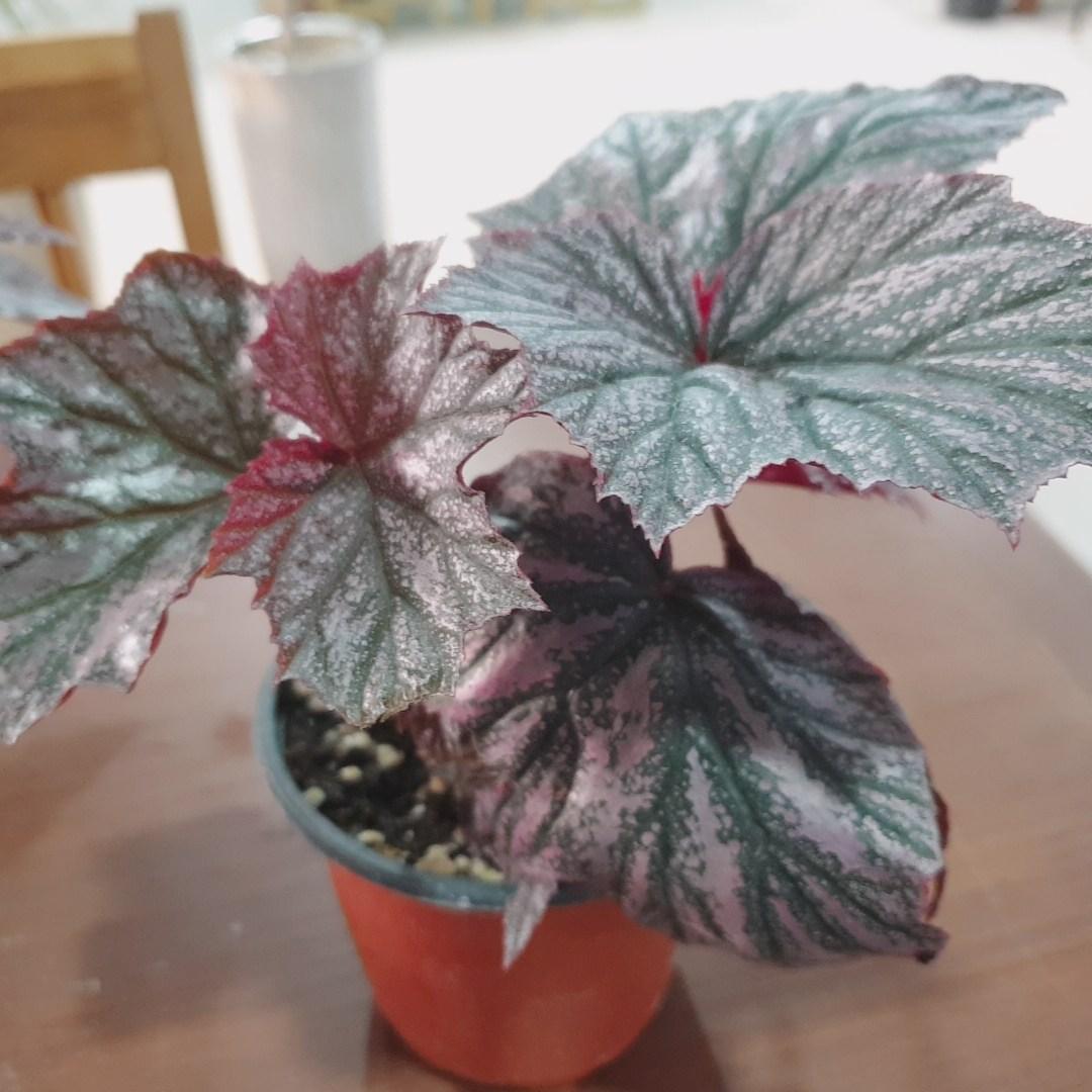 인플랜츠팜 잎베고니아 목대 꽃피는 공기정화 반려식물