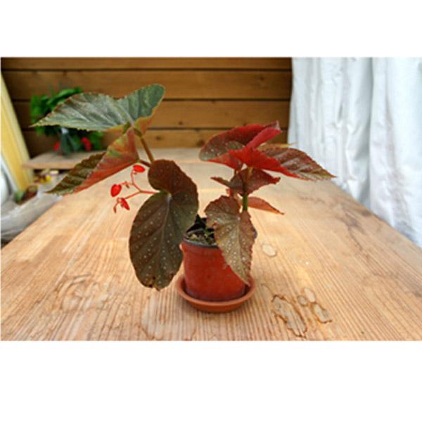 그린플랜트 공기정화식물 목베고니아(색상품종랜덤) 1+1