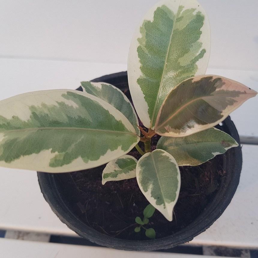 조이플랜트 수채화고무나무(재입고)