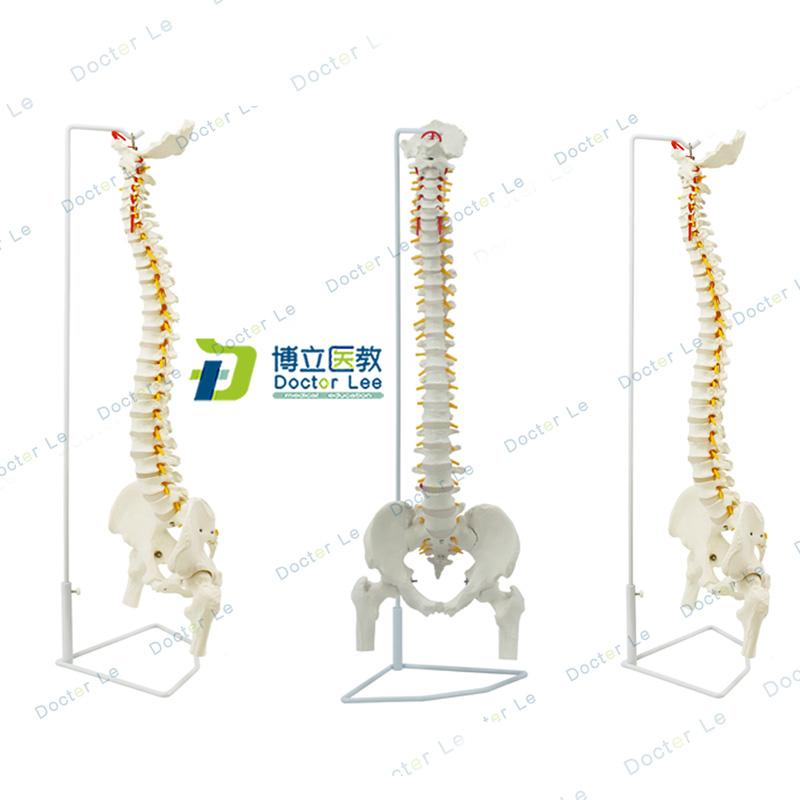 인체 척추 모형 1:1 뼈 표본 경추 요추 골격 모델 해부학 실습, 단일상품개 (POP 5482504797)