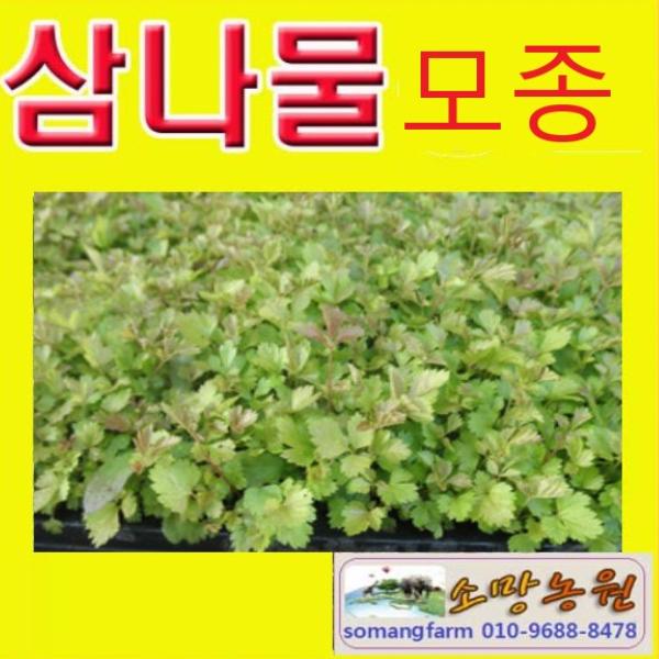 (J소망)삼나물모종(100개) 눈개승마모종