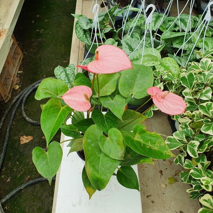 소예방 핑크안시리움 (중품) 핑크 꽃이 예쁜 식물인테리어 고급스러운