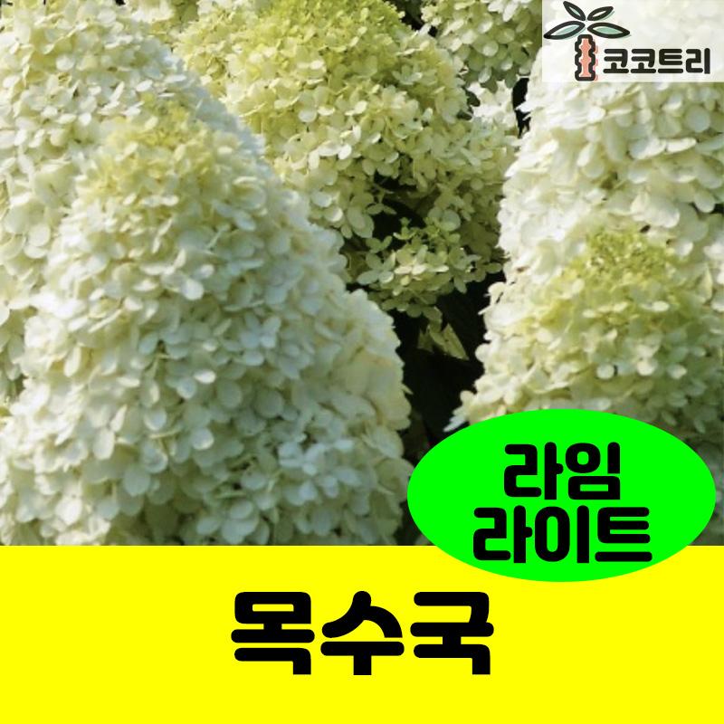 신품종 목수국(라임라이트) 나무수국, 10cm화분