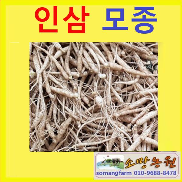 (소망)인삼뿌리모종(묘삼40개)