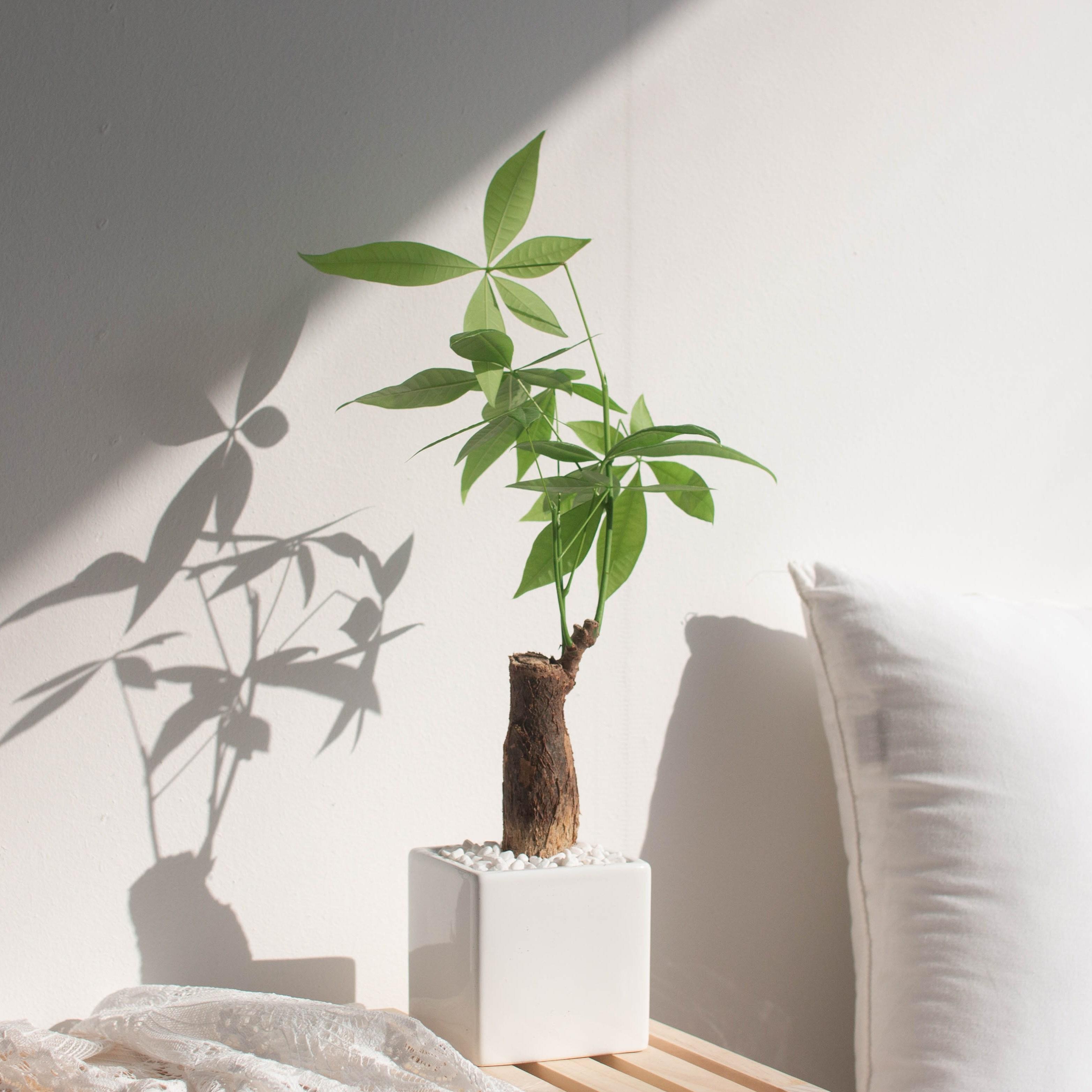 나루플랜트 실내 공기정화식물 화이트화분 공기청정 반려식물 인테리어식물, 1Ea, 파키라
