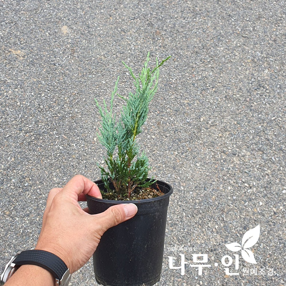 [나무인] 문그로우 측백 포트묘 5그루