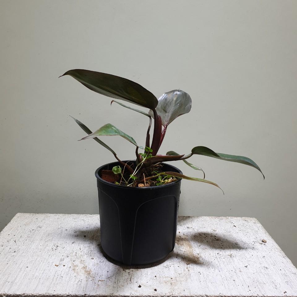 [공룡꽃식물원]필로덴드론 핑크프린세스 공기정화식물