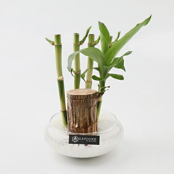 갑조네 공기정화식물 수경재배 실내인테리어 여름식물 개운죽 행운목 부레옥잠 물배추, 04.행운목(1개)+개운죽20cm(4p) 원형화분(1개)+흰돌(600g)+스티커
