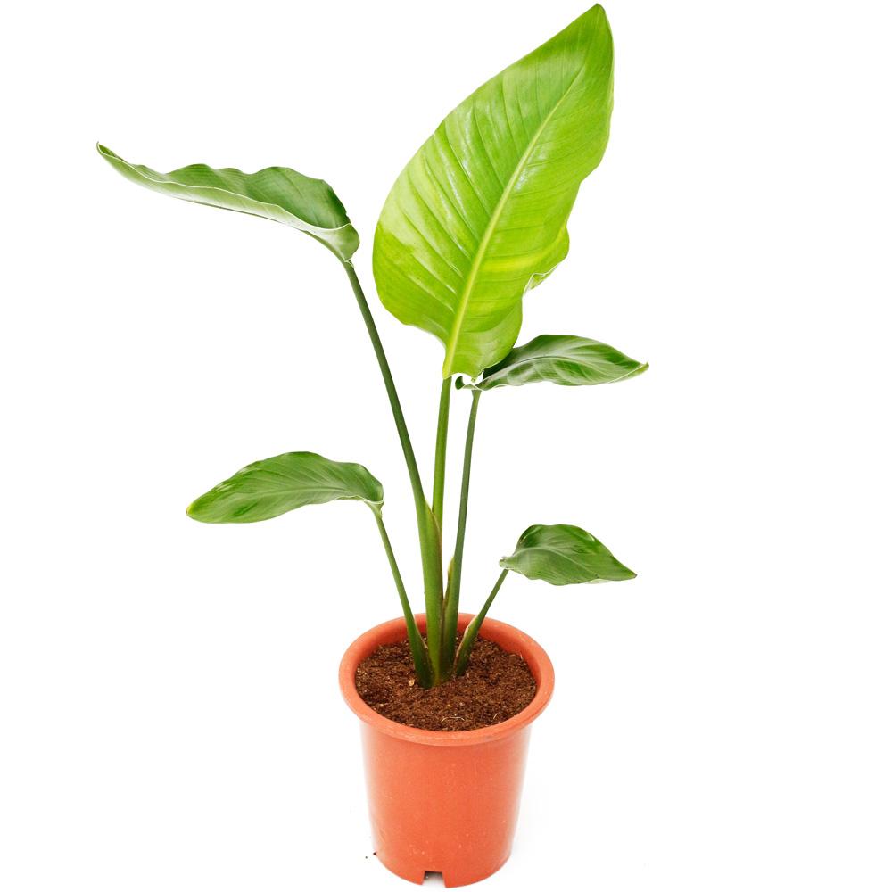 아침향기 공기정화식물 중형 대형 화분, 여인초(중형), 1p