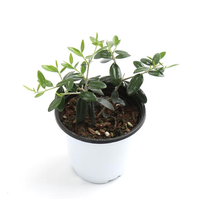 갑조네 공기정화식물 생화 화분 인테리어 식물 미세먼지제거 먼지정화, 올리브나무, 1개