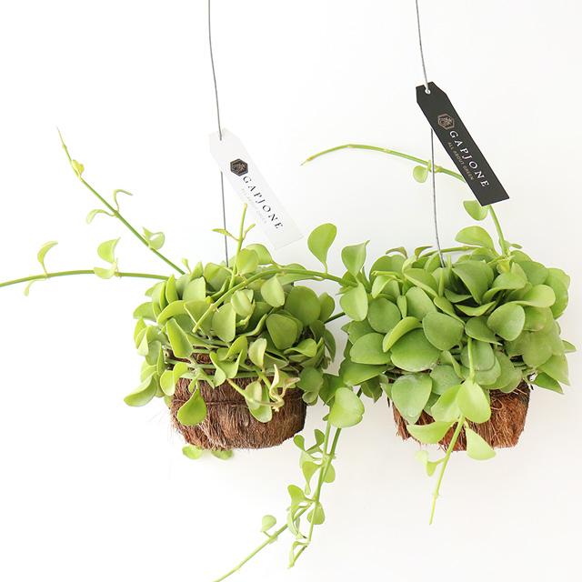 갑조네 디시디아 반볼(1+1) 틸란드시아 행잉 플랜트 벽걸이 공중 식물 홈가드닝 공기정화식물 인테리어화분, 디시디아반볼(그린)(1+1)