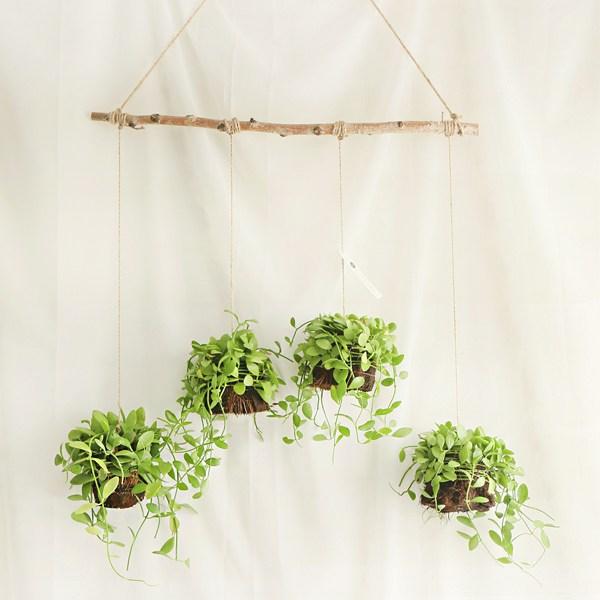 갑조네 틸란드시아 디시디아 먼지먹는식물 공기정화식물, 06 디시디아 (4개)+자작나무+가랜드마끈(135cm)