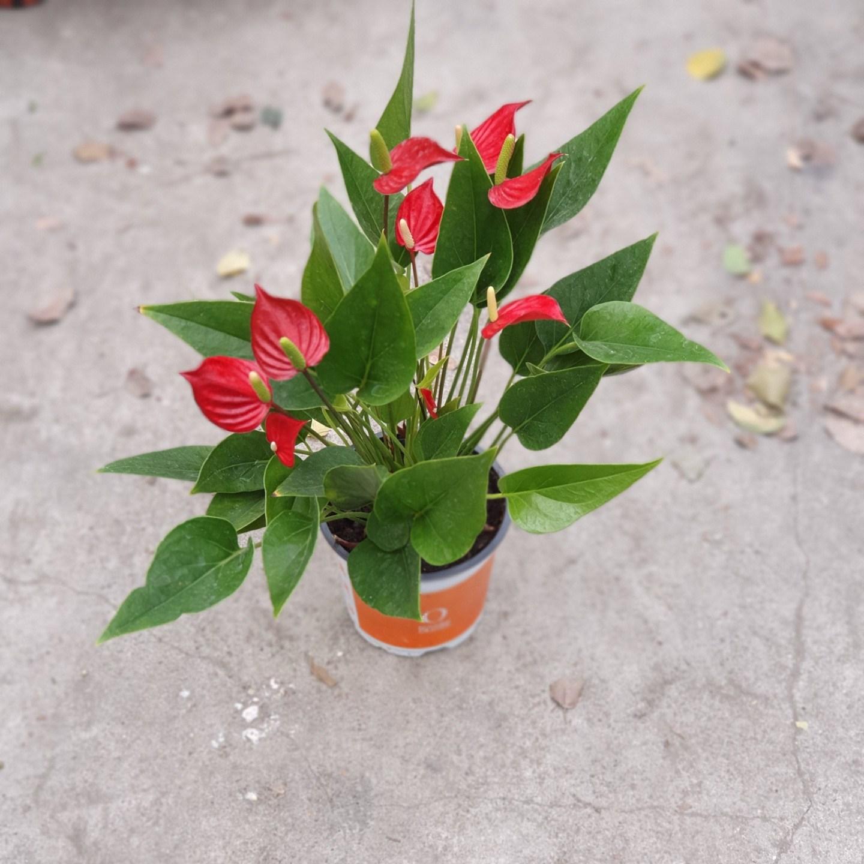 식물 공장 미니종안스리움 반려식물 유칼립투스 몬스테라 공기정화식물 119S