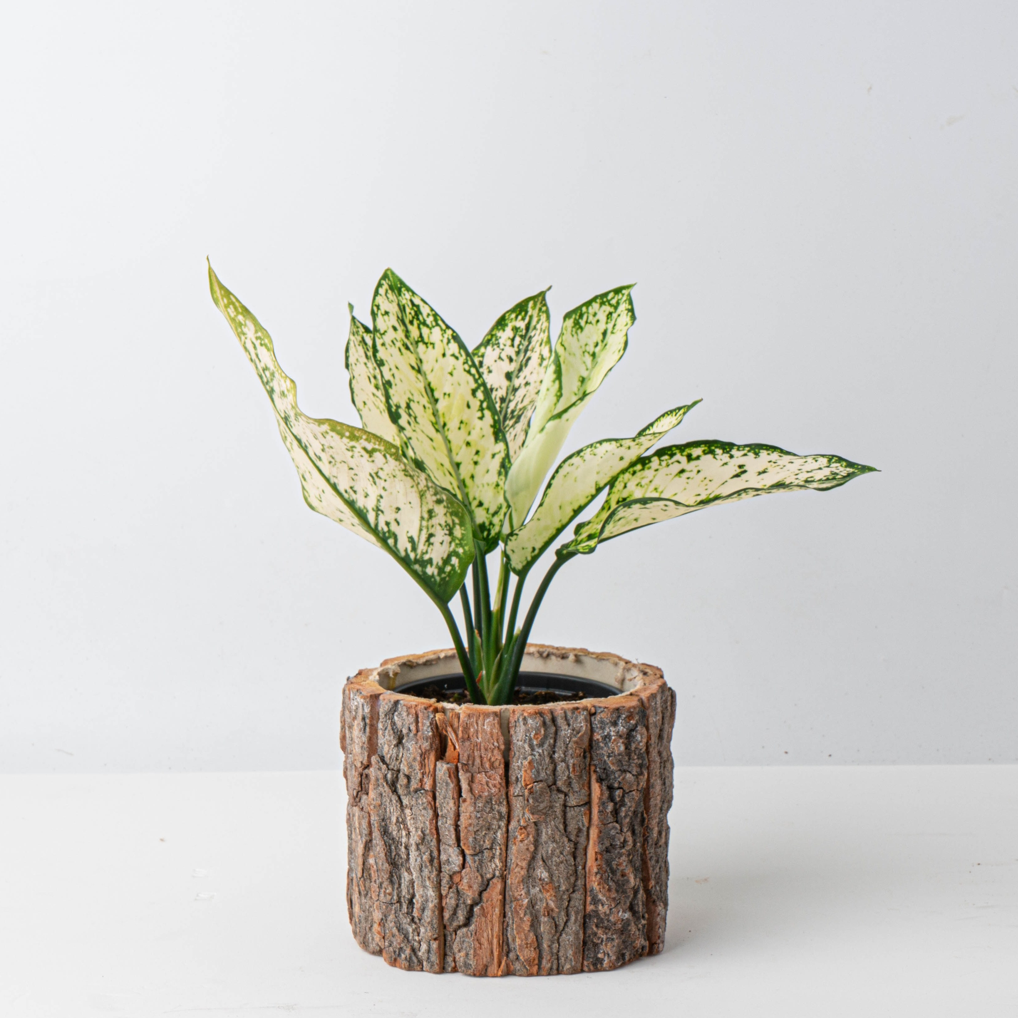 나루플랜트 공기정화식물+화분커버, 스노우사파이어+화분커버