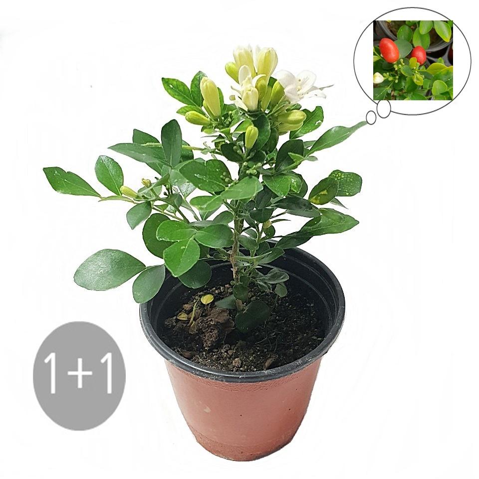 트리앤 무화과 천리향 레몬나무 오렌지자스민 영양제, 05. 1+1 오렌지자스민 1개