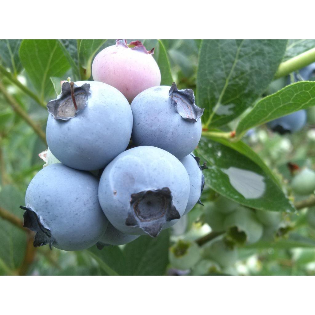 세종식물원 과실수 유실수 블루베리 나무 묘목 대품 화분