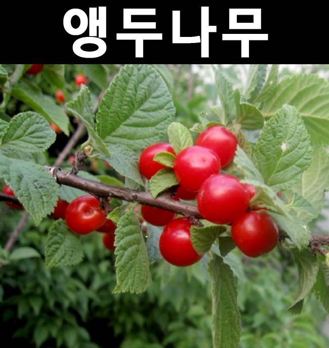 조선앵두 접목3년 결실주(분)/나무 묘목/과실수/유실수
