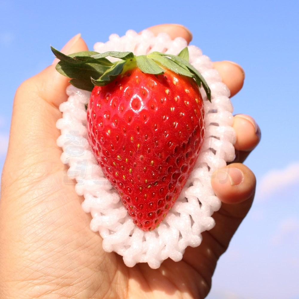 아리향 딸기 주먹만한 고급 왕 딸기, 8-9과