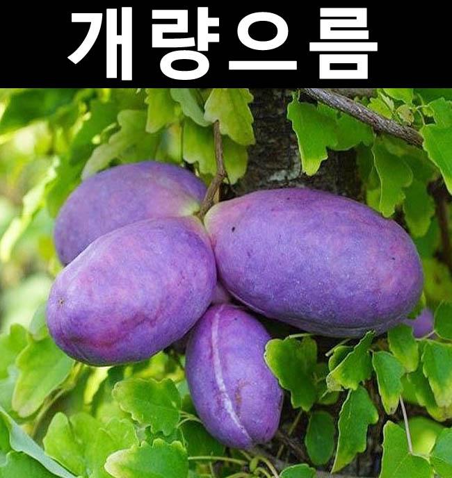 개량으름(대과종) 8치화분 결실주/나무 묘목/과실수