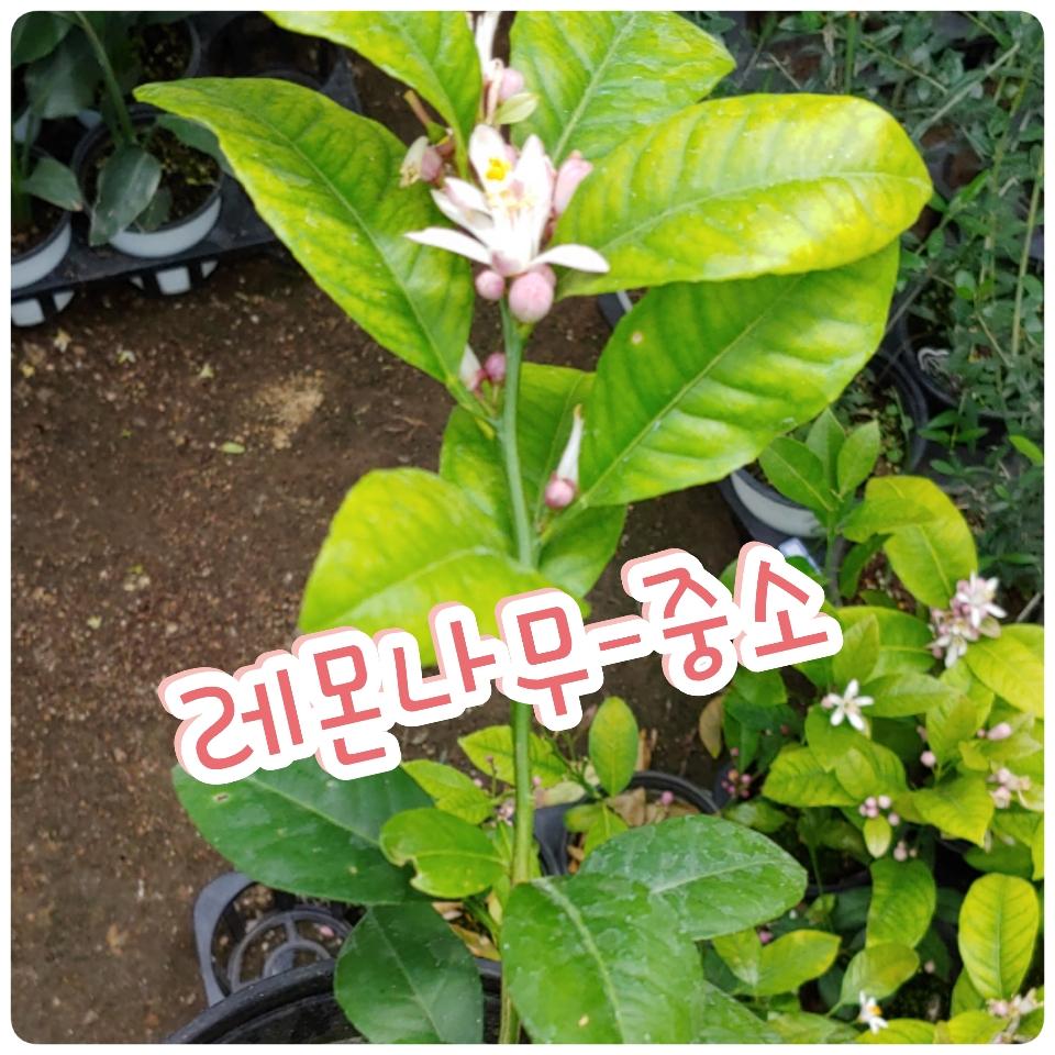 꽃나라엘리스 레몬나무-중소-쬐끔하다구 무시하시면
