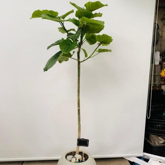 트리에이지 공기정화식물 산소탱크 휘카스움베르타 원형화분 높이약 120cm