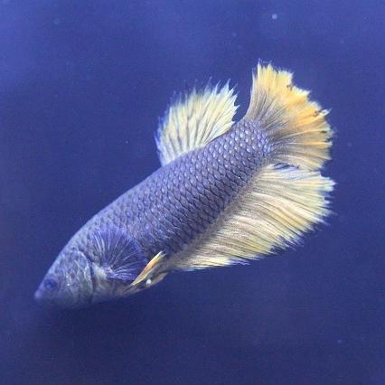 AR아쿠아 하프문 베타 암컷 1마리(랜덤발송) 열대어 관상어, 1마리