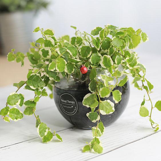 그린테라피 수경재배식물 유리병 실내공기정화식물 수중식물키우기 DIYSET, 푸미라+어항