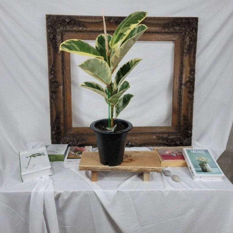 마라나타플라워 수채화고무나무 공기정화식물 플랜테리어