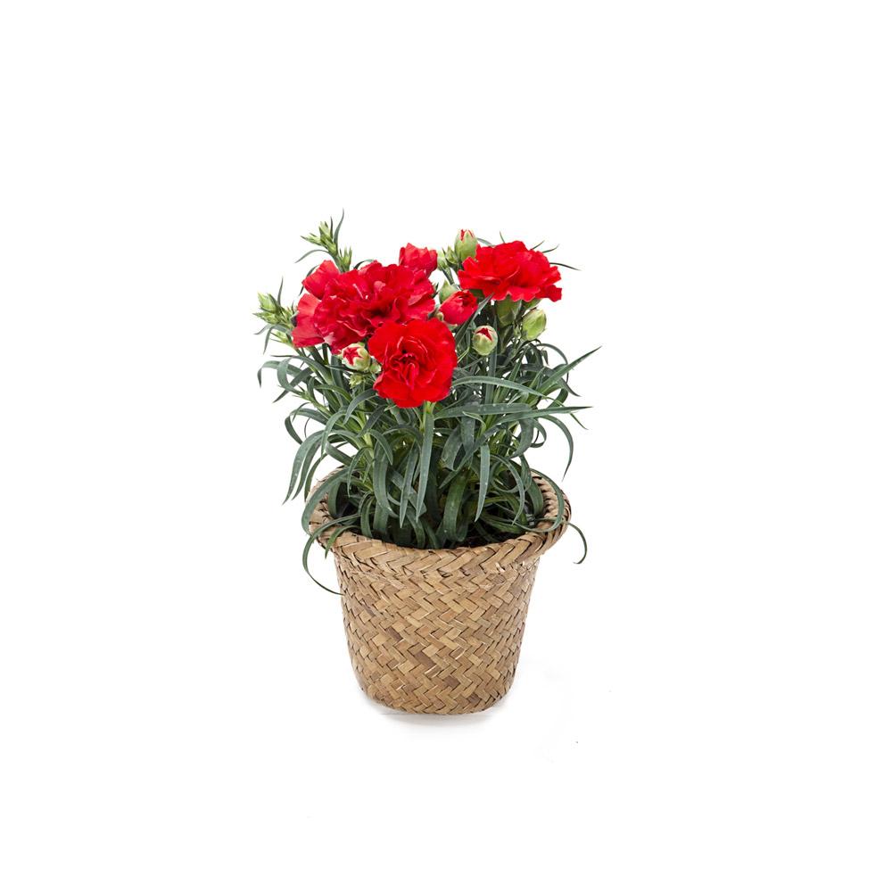 1+1 카네이션꽃 모종 생화 화분 어버이날 스승의날 감사선물, 카네이션 해초바구니 내추럴