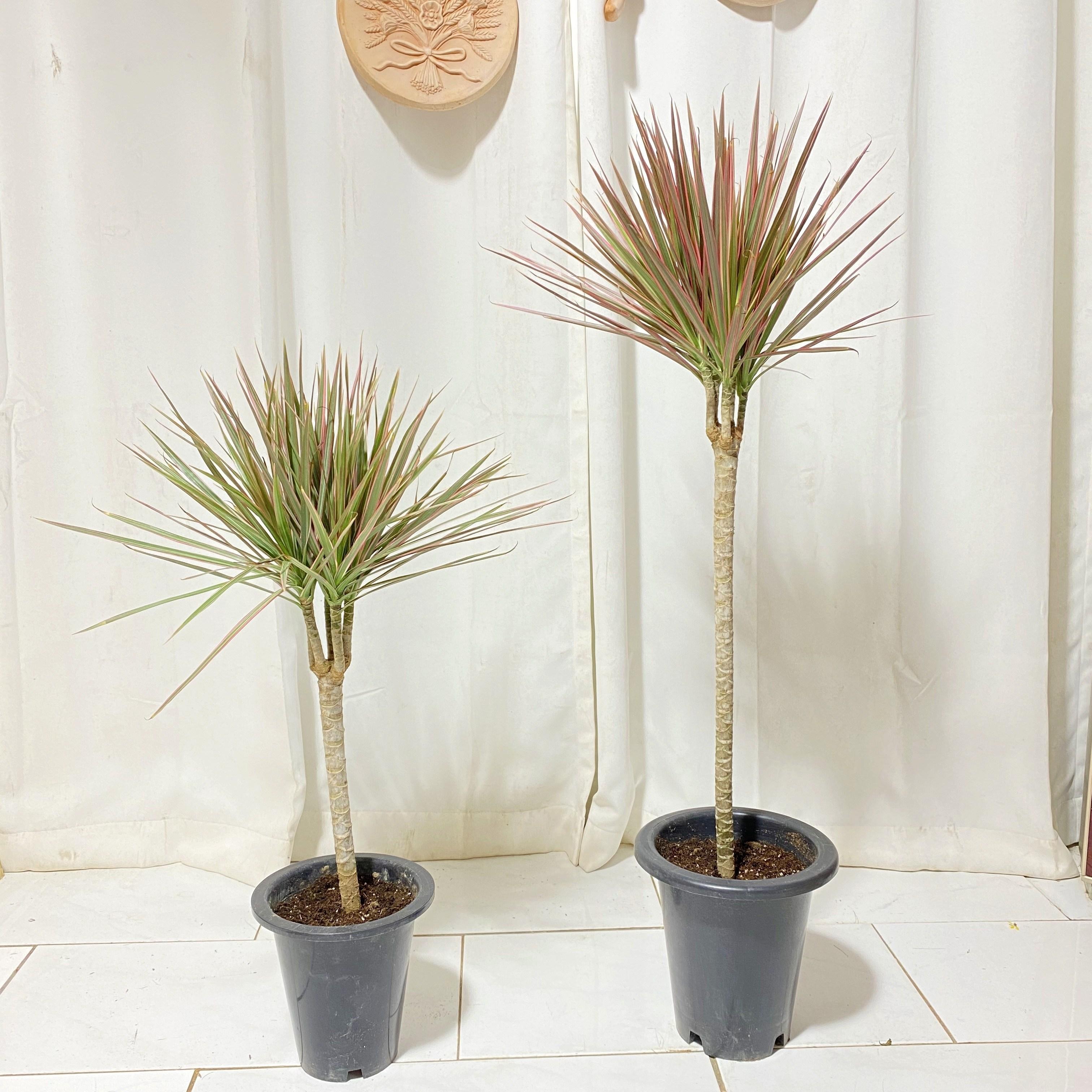 청년농부 초특가 외목 레인보우 마지나타 2가지형 택1 인테리어식물, 소형