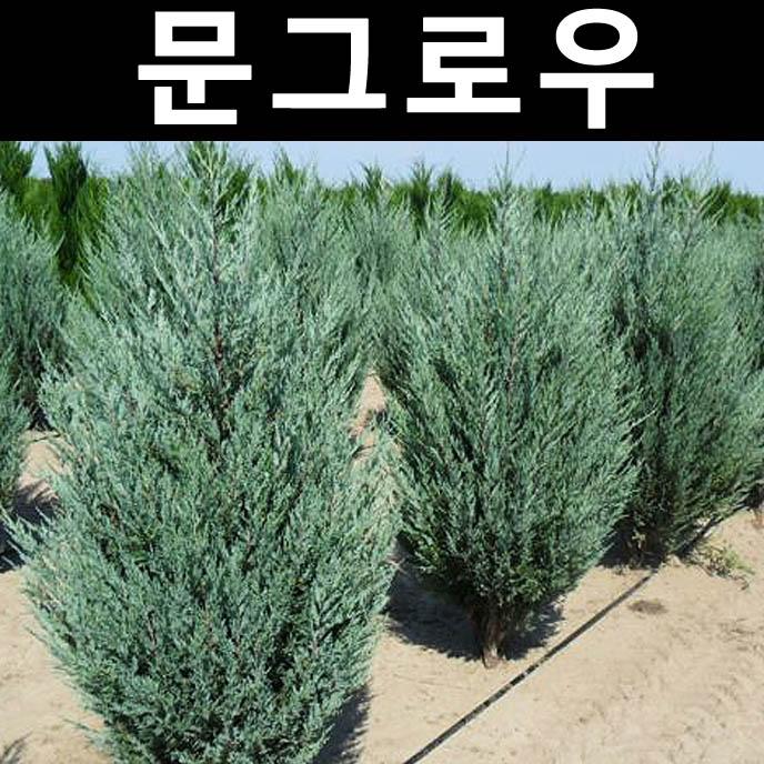 문그로우 삽목2년 포트 5개/나무 묘목/상록수/조경용