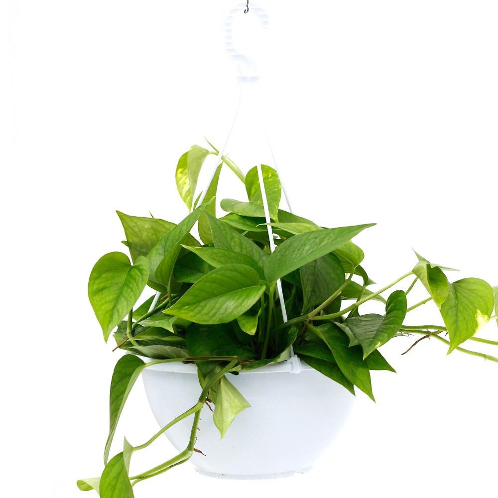 아침향기 공기정화식물 중형 대형 화분, 스킨답서스(중형), 1p