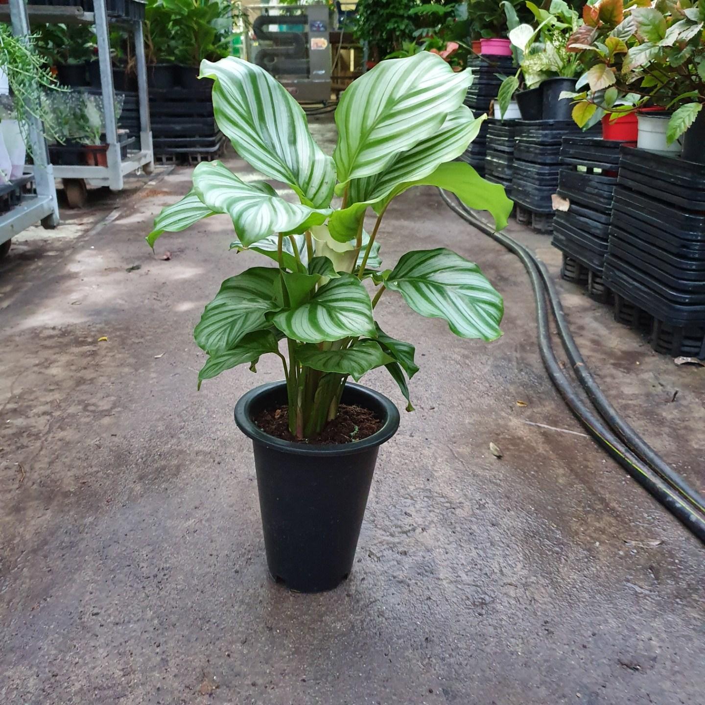 꽃백화점 칼라데아오르비폴리아 중품 공기정화식물 특가세일 99