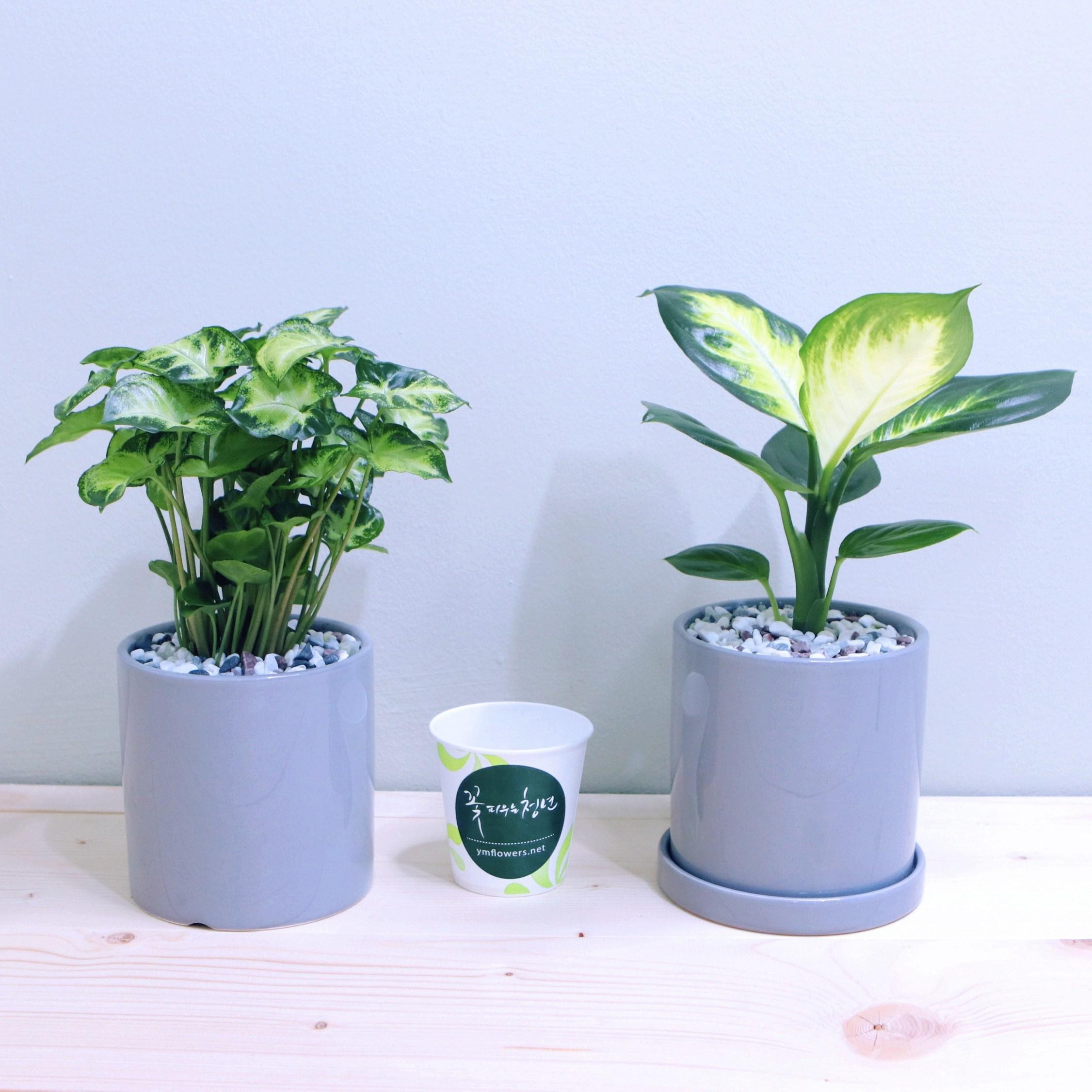 꽃피우는청년 새집증후군 제거 실내공기정화식물 2종 세트 (마리안느 싱고니움), 유광 원형 그레이