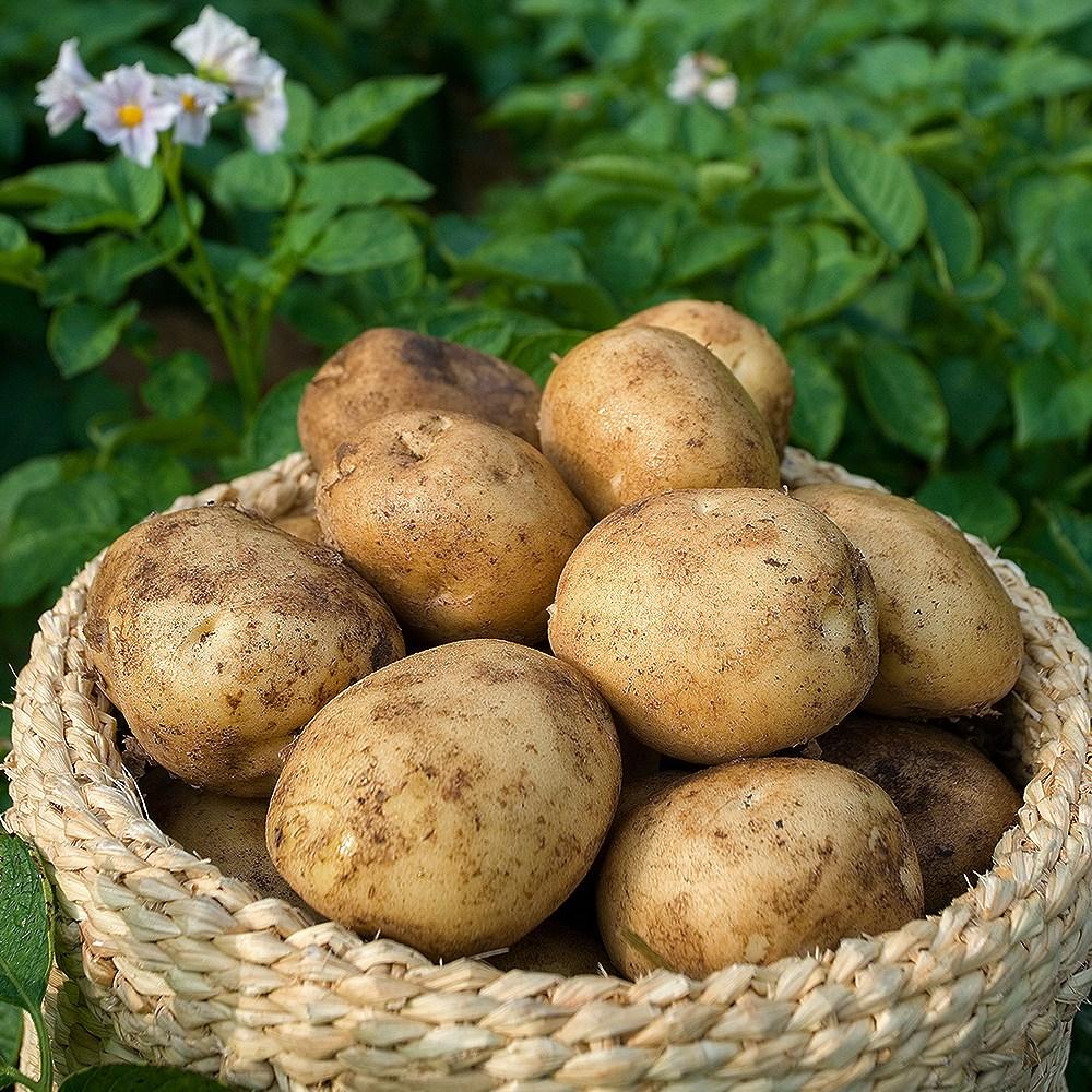 빛고을장터 20년 수확 포슬한 감자 10kg 5kg 3kg내외, 1box, 05.감자 (대) 3kg내외 찜용