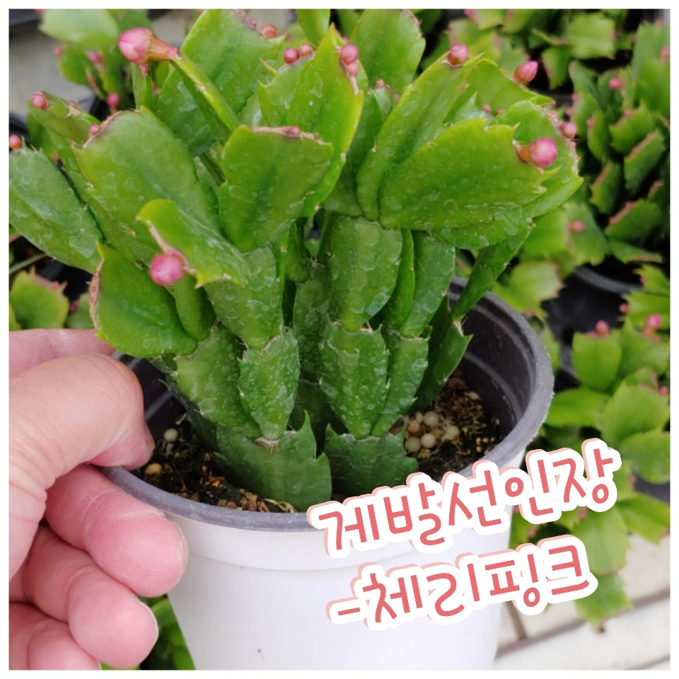 꽃나라엘리스 게발선인장(체리핑크)-겨울에 꽃을 피우기에 크리스마스선인장