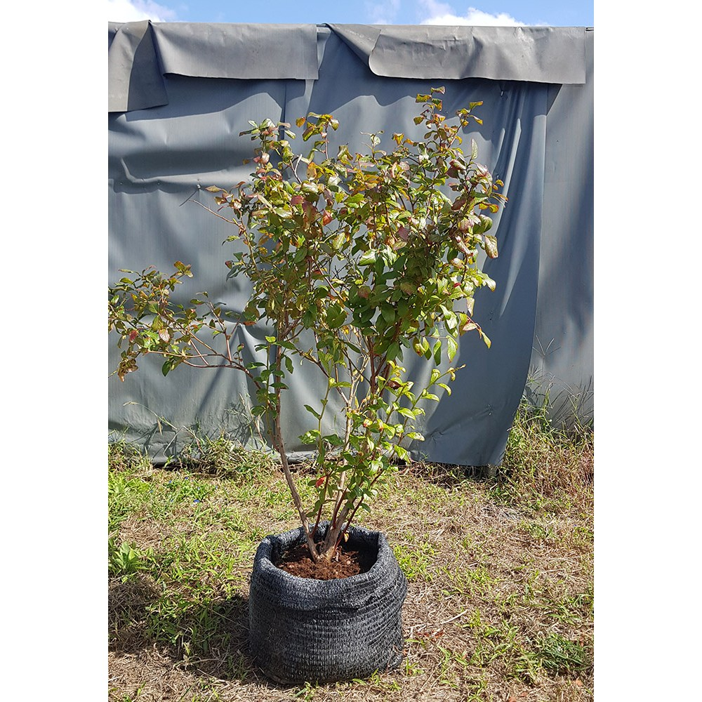블루베리묘목 큰나무(6-7년생), 1개