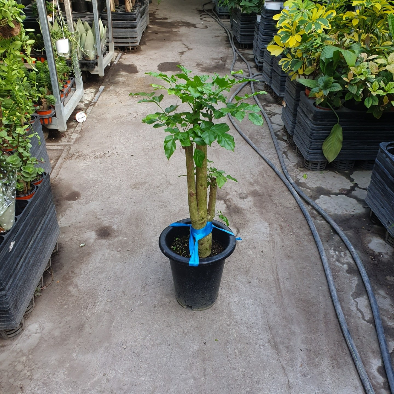 [나인에잇틴]목대좋은 녹보수 공기정화식물 149