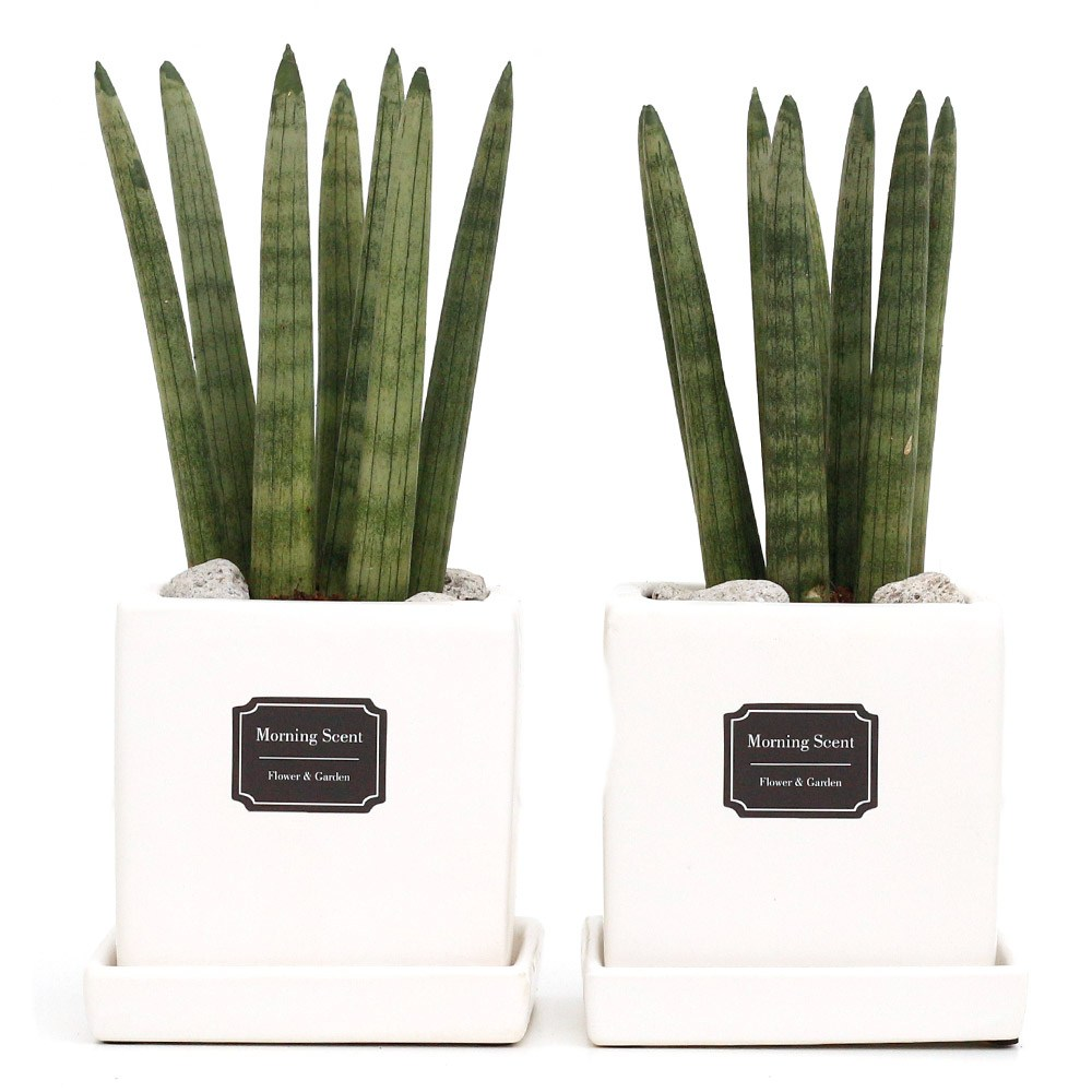 공기정화식물 산세베리아 스투키 1+1 무광 사각 화분 블랙 화이트, 사각무광 스투키7촉1+1, 화이트+화이트