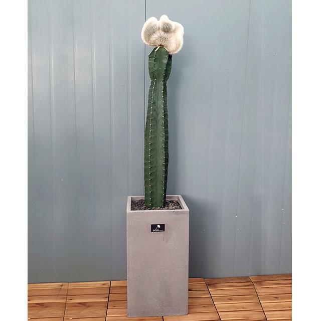흰내 고급플랜테리어 대형 귀면각 밍크선인장 산세베리아 다육식물 서울 경기지역만 배송가능