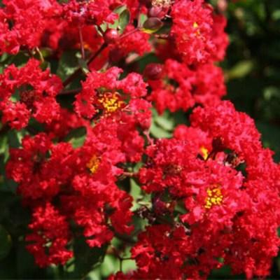 세종식물원 정원 조경 목백일홍 배롱나무 다이너마이트 특대품 나무 묘목 화분 (적색)