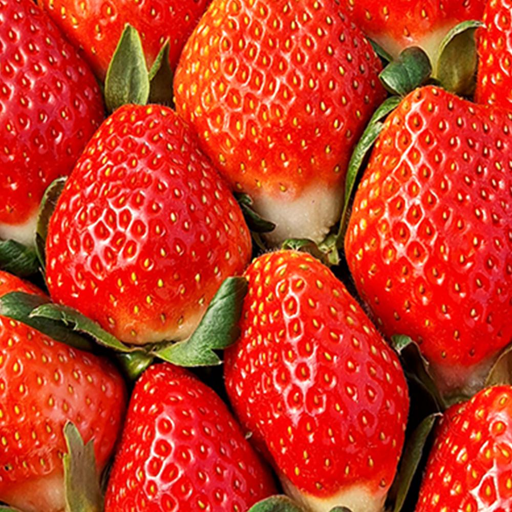 농장직송 고당도 설향 딸기 특대 500g 1kg 2kg