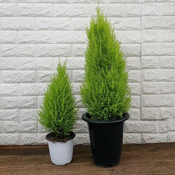 하늘농원 공기정화식물 율마 화분 (대 80cm 소 20cm), 1개, 소 (20cm)