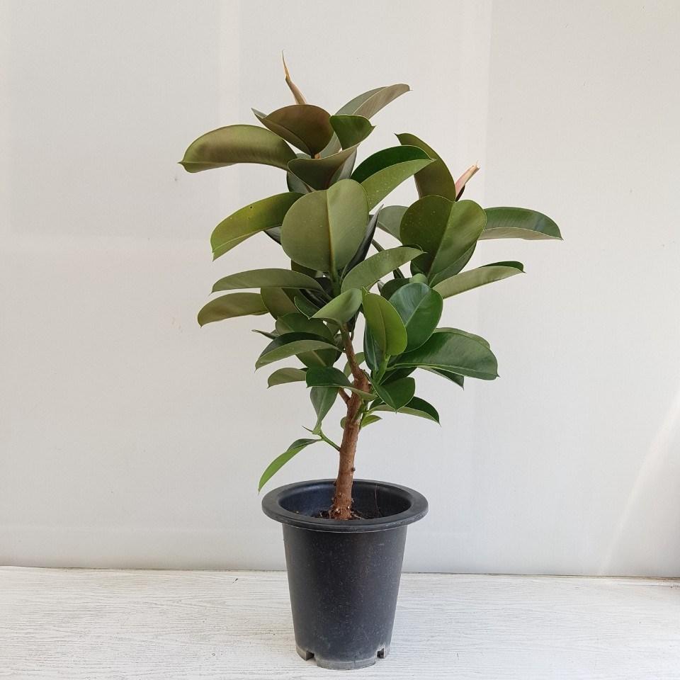 온누리농원 인도고무나무 가지 공기정화식물 반려식물