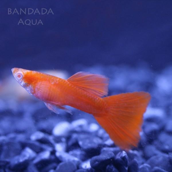 반다다아쿠아 알풀 알비노 풀레드 구피 (수컷1 암컷1) 2마리 1쌍 A급, 1set